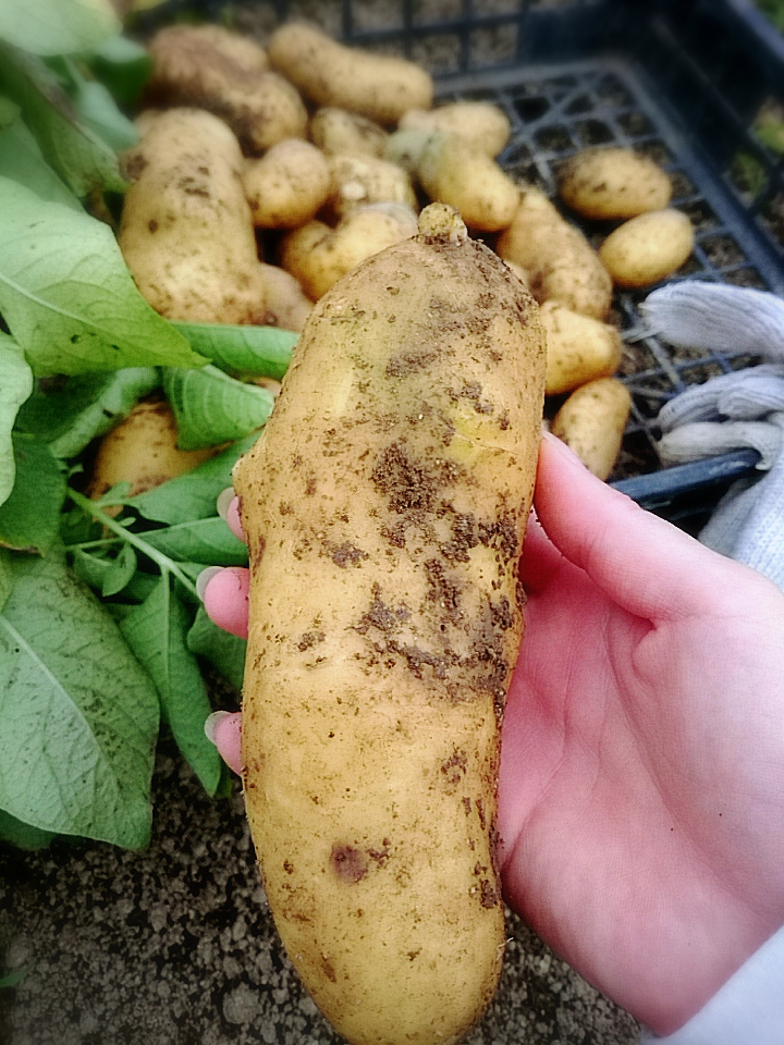 手の中の芋